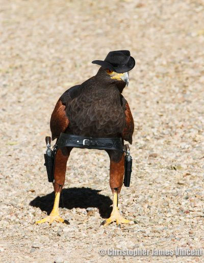 Harris's Hawk, an obvious western bird