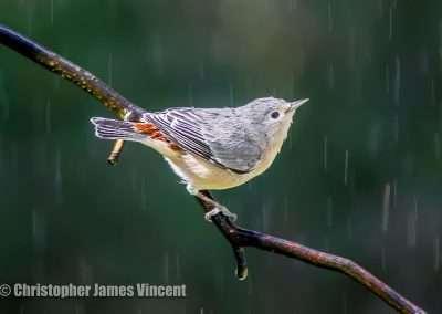 Lucy's Warbler in the Bird Shower